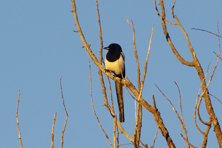 Evening magpie from Taos, New Mexico