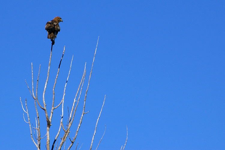 A hawk in Taos, New Mexico.