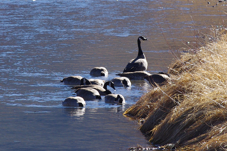 Canada geese on the Rio Grande