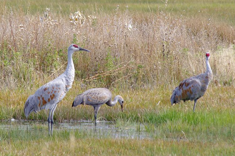 Sandhill cranes at Monte Vista in southern Colorado