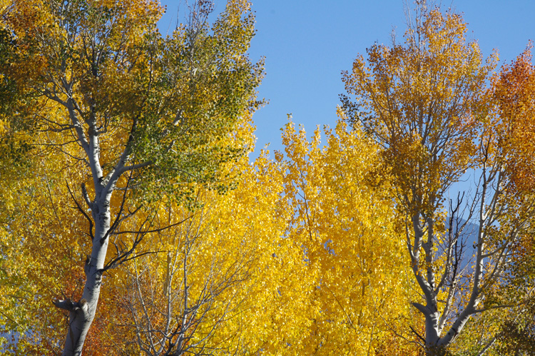 Aspens in fall colors from Taos, NM