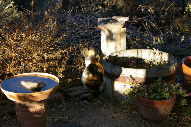 Cat watching for chipmunks at the edge of a brushpile in Taos, New Mexico.