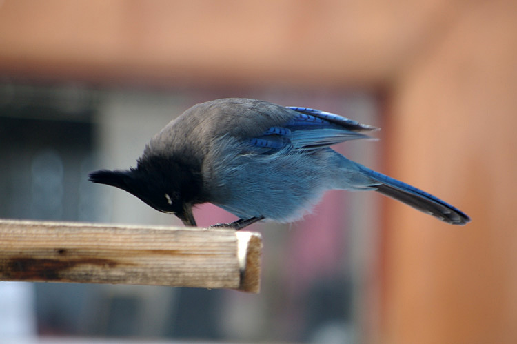a Stellar's Jay in Taos, New Mexico