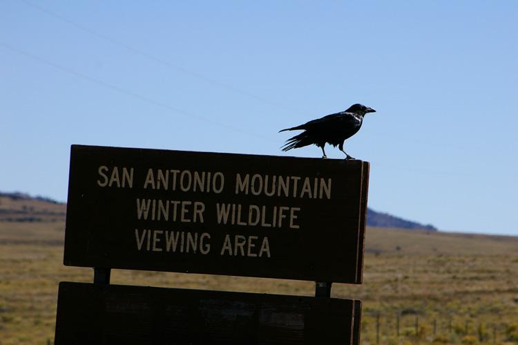 a raven near San Antonio Mountain north of Tres Piedras, New Mexico