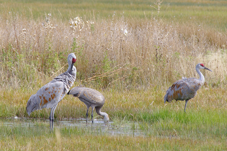 sandhill cranes at Monte Vista in southern Colorado