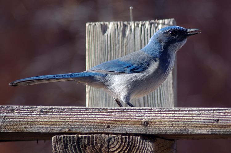 scrub jay in Taos, NM