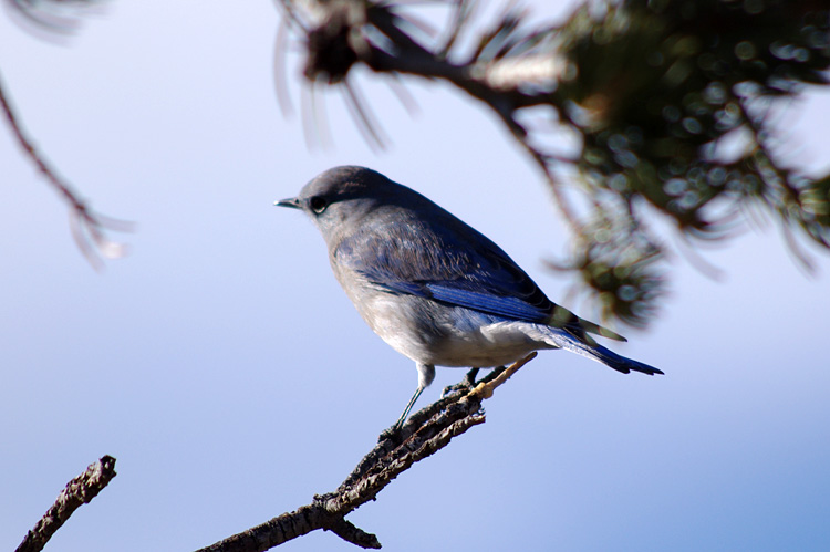female mountain bluebird near Taos, NM