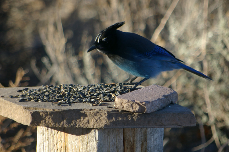 Stellar's jay in Taos, New Mexico.