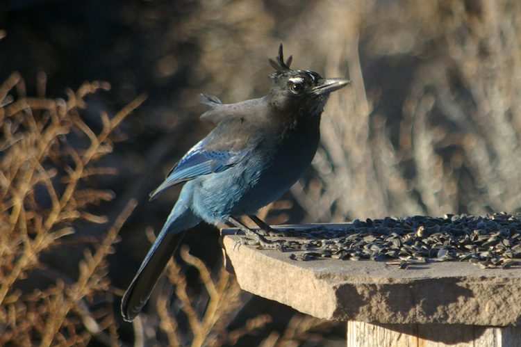 Stellar's jay being blown by the wind in Taos, New Mexico.