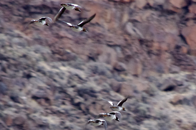 Buffleheads (or something) flying up the canyon of the Rio Grande