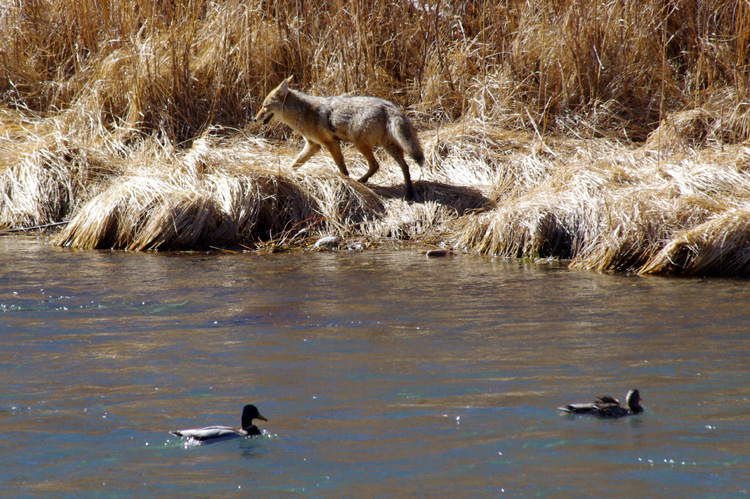 coyote and ducks on the Rio Grande