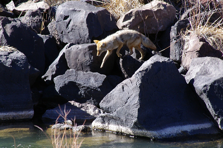 coyote on the Rio Grande