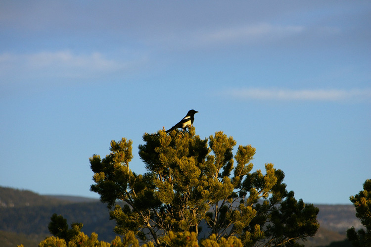 magpie in a piñon tree at sunset