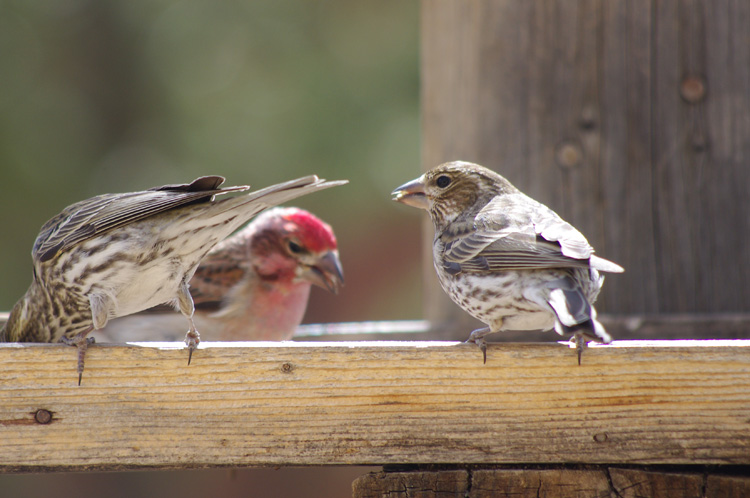 Finches in Taos, New Mexico