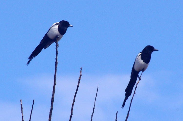 Magpies getting ready to fly up to the canyons and roost.