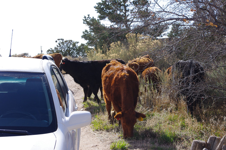 Errant cows in the driveway in Taos, New Mexico
