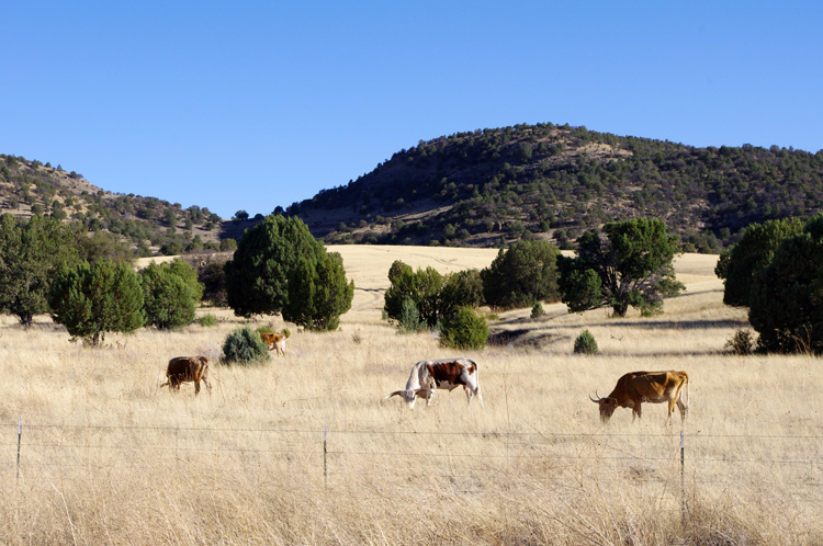 Longhorn cattle in southwestern New Mexico
