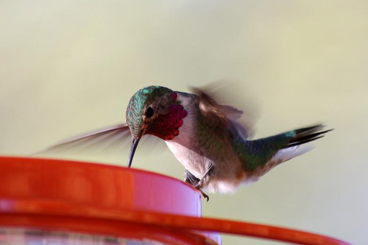 hummingbird on feeder in Taos, NM