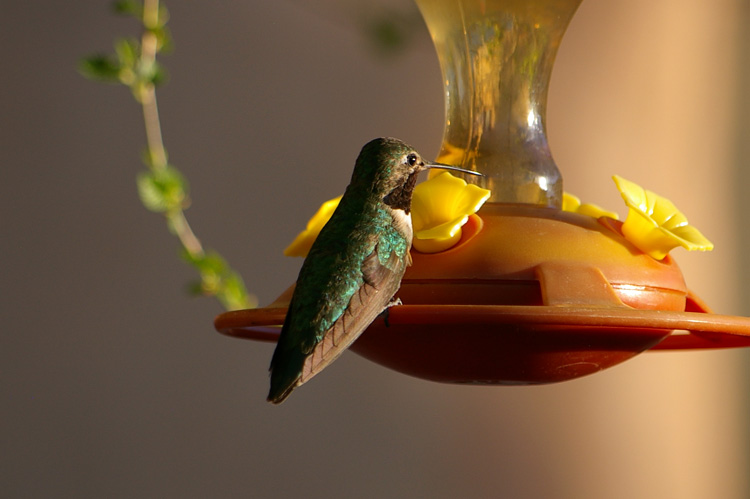A black-chinned hummingbird in Taos, NM