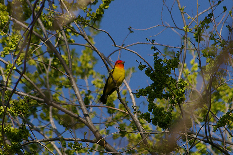 a beautiful western tanager in Taos, New Mexico