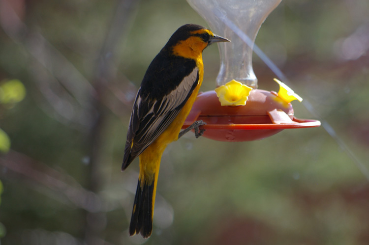 Bullock's Oriole in Taos, New Mexico