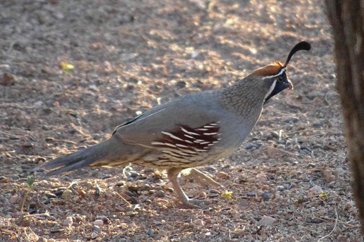 Gambel's quail in Tucson, Arizona