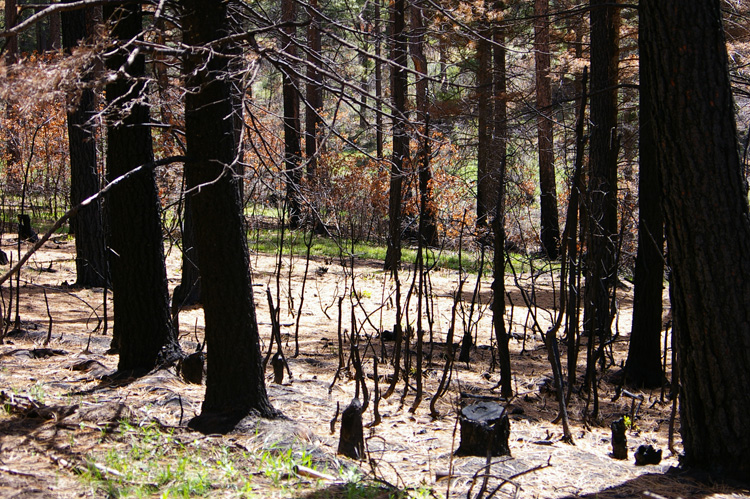Patch of burned woods near Taos, New Mexico