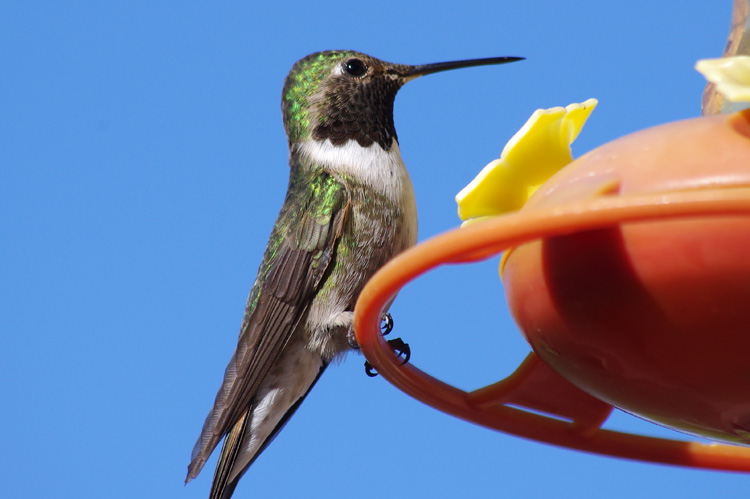 hummingbird on feeder in Taos, NM posing for picture