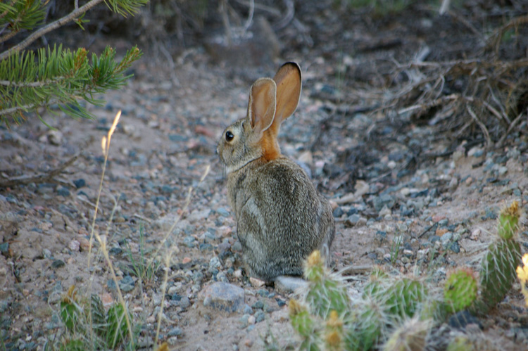Post image for Young Jackrabbit