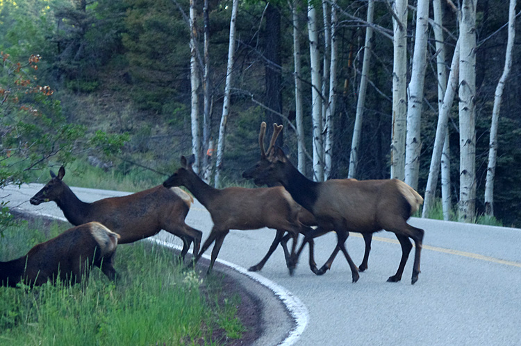 Elk near Flechado Pass at the top of Taos Canyon