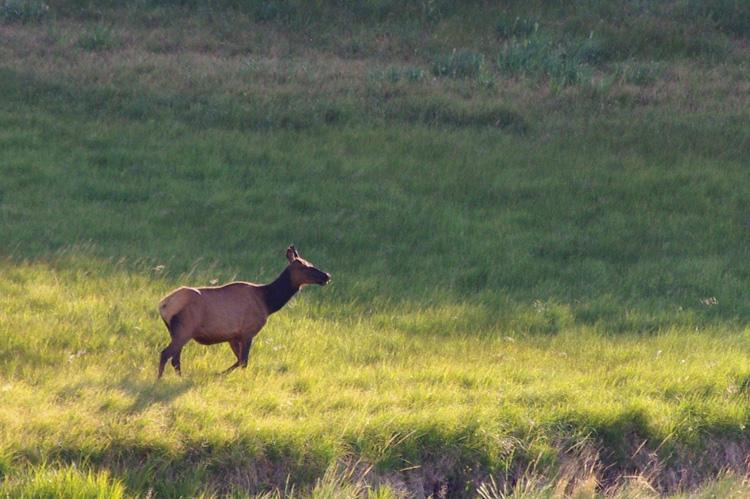 Moreno Valley elk