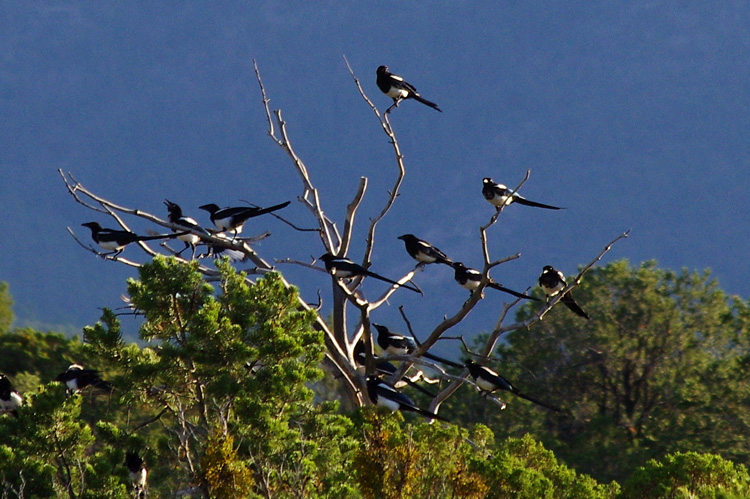magpies getting ready to fly up to the canyons and roost