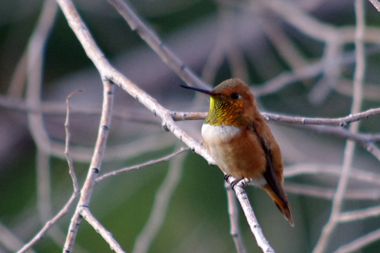 rufous hummingbird close-up from Taos