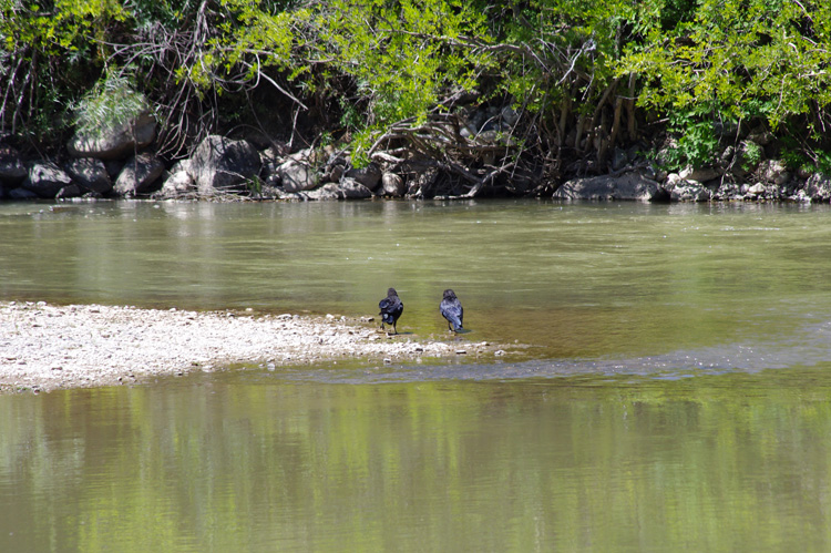 Ravens in the Rio Grande