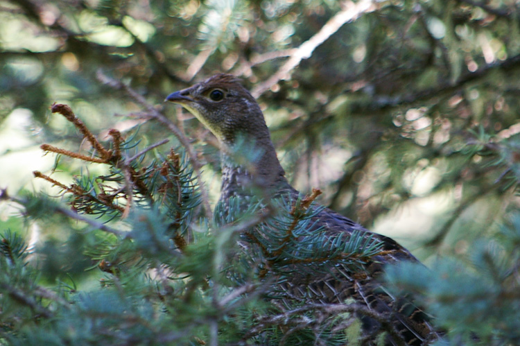 Blue grouse photographed near Taos, New Mexico.