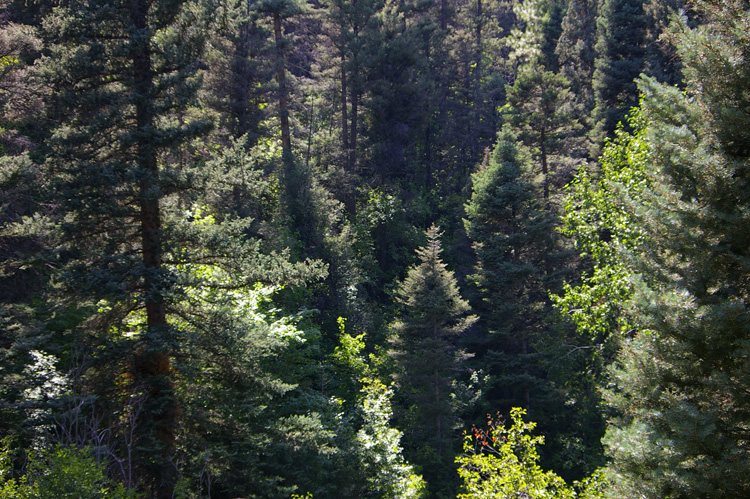 Spruce and ponderosa pines in Carson National Forest.