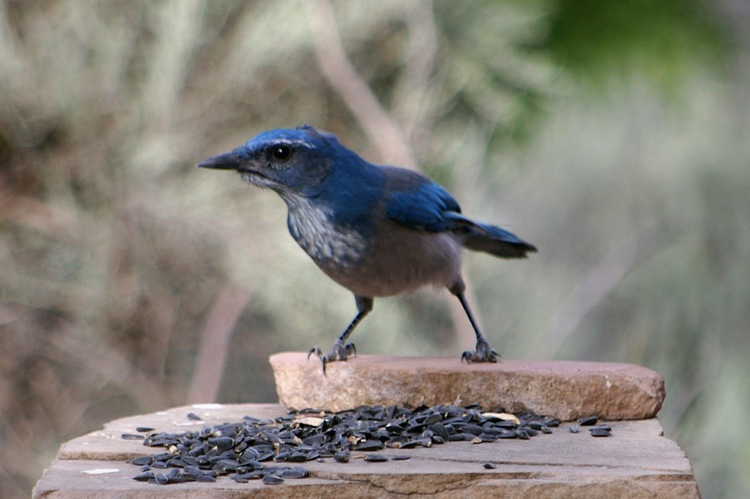A blue scrub jay gives the camerman a stare.