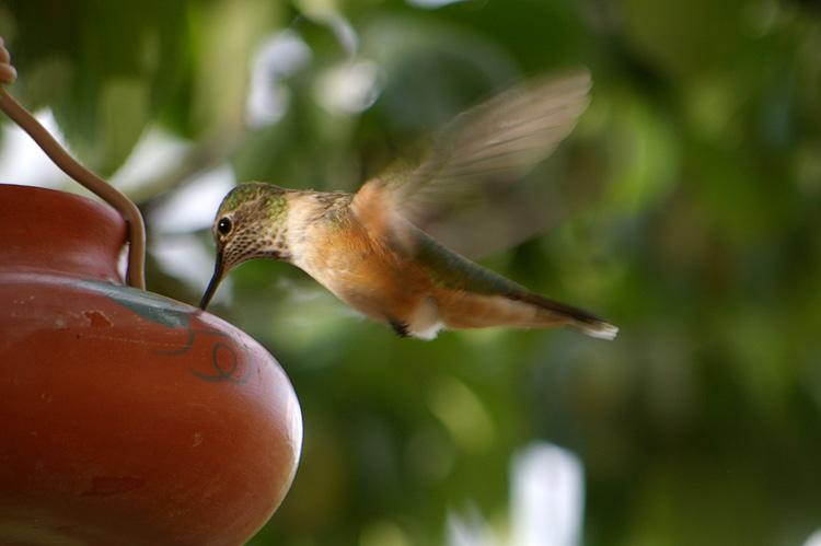 Hummingbird close-up from Taos, New Mexico