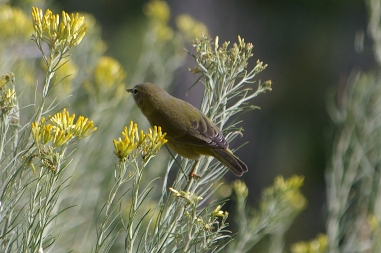 Small warbler in a chamisa bush in Taos, New Mexico
