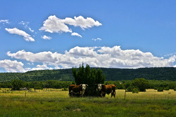 Mora County, NM bulls beside the road